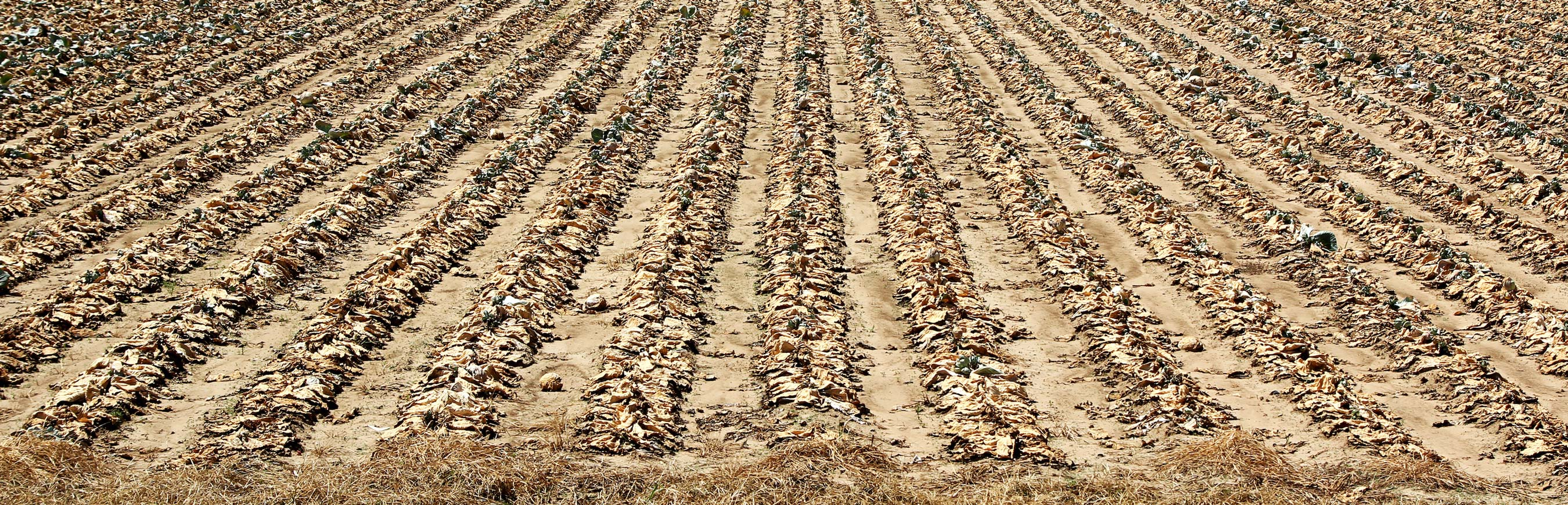 A field of drought-damaged crops