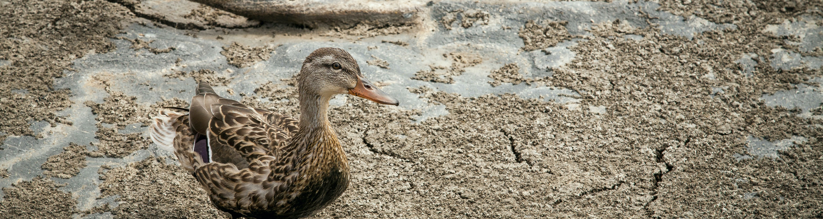 A duck stands in a dried out wetland area impacted by drought
